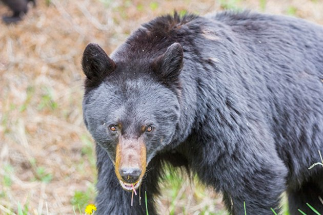The suspect: Ursus americanus aka American Black Bear